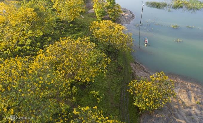 Hoa muồng vàng nở rộ bên đồi chè