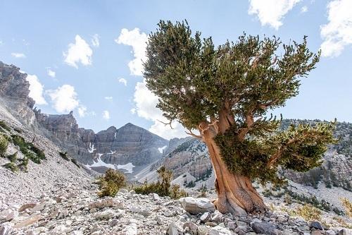 Những cây thông bristlecone có thể sống đến hàng nghìn ngăm tuổi nhờ bản năng sinh tồn trong điều kiện khắc nghiệt. Khi không có đủ dưỡng chất nuôi toàn bộ cây, những phần cành lá sẽ chết và cây có thể sống mà chỉ còn một phần thân lá nhỏ tiếp tục phát triển. Ảnh:USA Tipps.