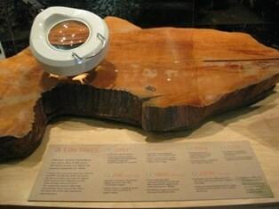 Thân gỗ của Prometheus trưng bày trong trung tâm thông tin dành cho du khách tại vườn quốc gia. Ảnh: NPS.