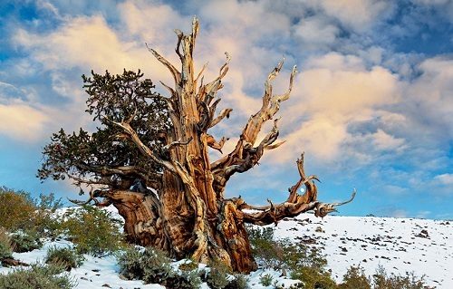 Một cây thông cổ thụ trongrừng quốc gia White Mountains. Ảnh:Medium.