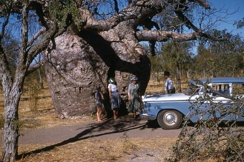 Khách du lịch hiếu kỳ với cây baobao tù tội của Derby. Ảnh:Philiphist.