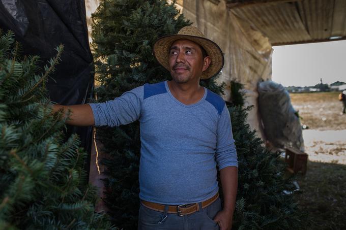 Nơi loài thông gần tuyệt chủng vì lễ Giáng sinh