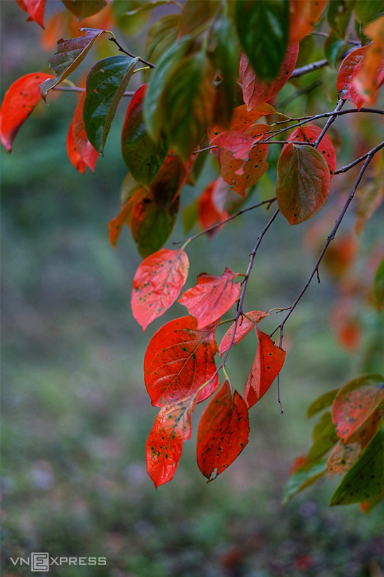 Mùa lá đỏ trong những vườn hồng gần Đà Lạt