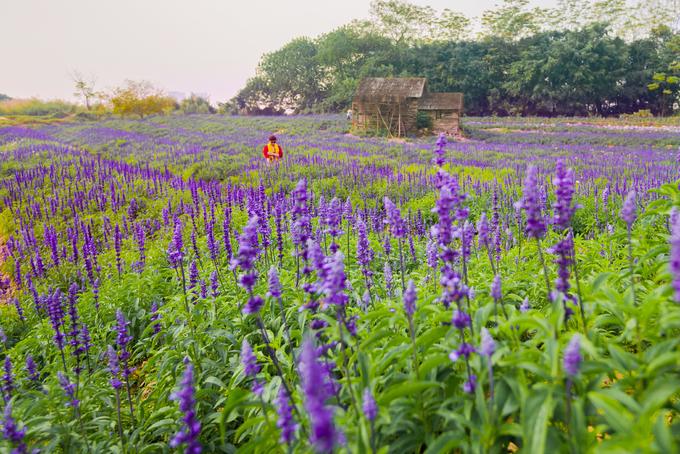 Cánh đồng hoa nữ hoàng xanh rộng 10.000 m2