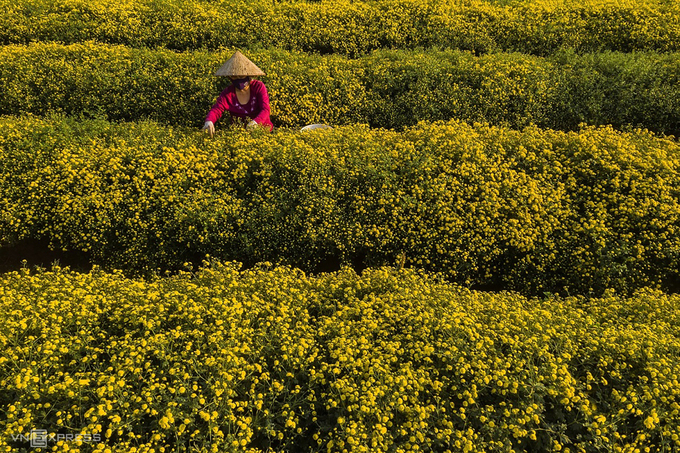 Cánh đồng cúc chi nở vàng rực gần Hà Nội