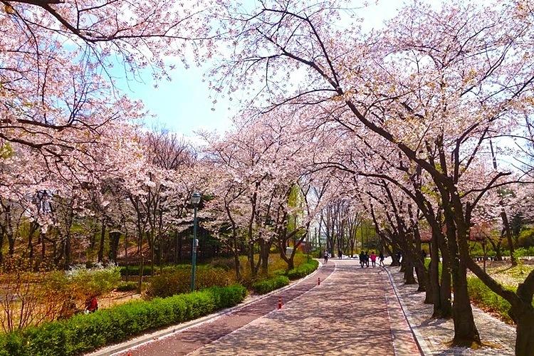 Lễ hội hoa xuân Yeouido. Ảnh: I Visit Korea.