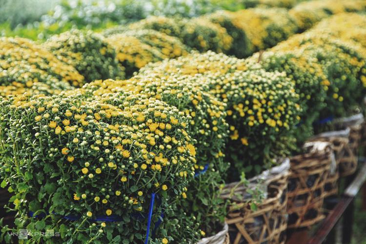 Sa Đéc (Đồng Tháp) Làng hoa trăm tuổi ở Sa Đéc có hơn 2.500 loại cây, hoa kiểng cùng khoe sắc vào dịp cận Tết Nguyên Đán. Du khách khắp nơi đổ về làng hoa dịp này để tham quan, chụp hình và mua sắm cây hoa tại vườn với giá phải chăng. Tuy nhiên, làng hoa có thể không còn đa sắc vào những ngày sát Tết, do nông dân thu hoạch phục vụ mùa hoa tết. Từ bến xe Miền Tây (TP HCM), bạn mua vé xe đi Cao Lãnh hoặc Sa Đéc với giá vé từ 90.000 đồng đến 200.000 đồng. Giá nhà nghỉ và khách sạn ở Đồng Tháp dao động khoảng 50.000 đồng đến 700.000 đồng một đêm. Nếu có thời gian, bạn nên ghé vùng Lai Vung để thưởng thức và mua về làm quà hai đặc sản là quýt hồng và nem chua.Ảnh: Tâm Linh