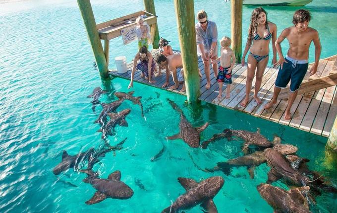 Hòn đảo nơi lợn biết bơi và xin ăn