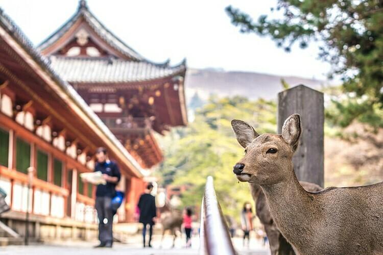 Hươu đi lại ở công viên Nara. Ảnh: Sergio TB/Shutterstock.
