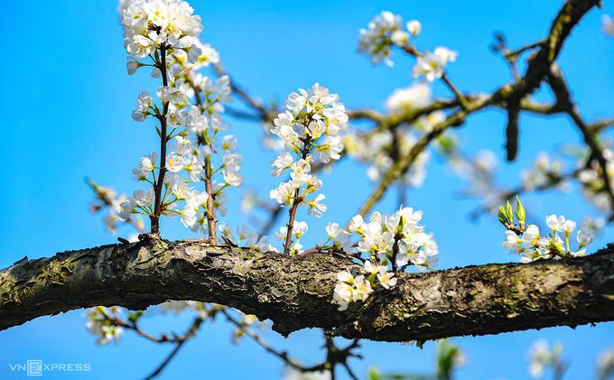 Hoa mận nở trắng Mộc Châu