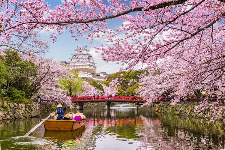 Hoa anh đào nở tuyệt đẹp ở Nhật Bản dịp đầu năm