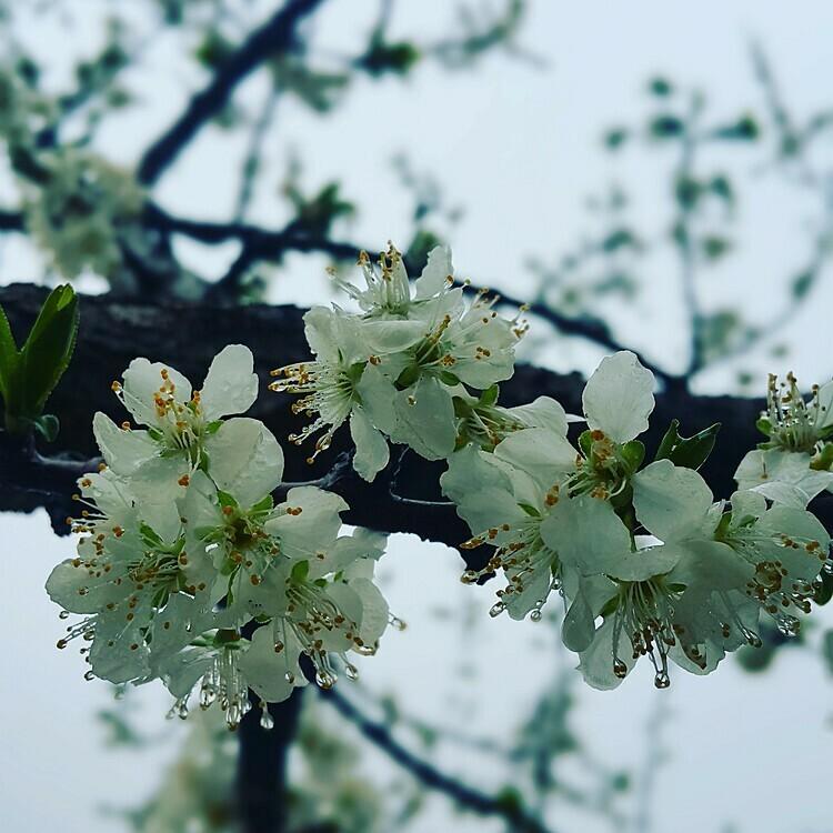 Những bông hoa mận nở thành từng chùm. Ảnh: Việt Nguyễn.