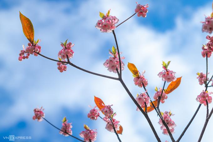 Hoa đào chuông trên đỉnh Bà Nà