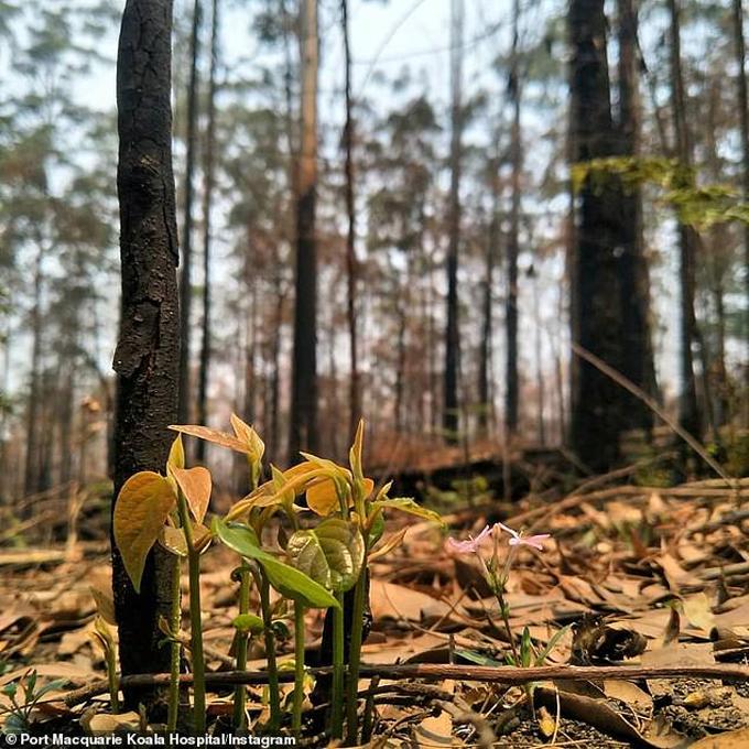 Rừng Australia đâm chồi trong tàn tro