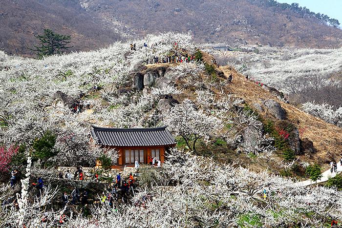 Hoa mai phủ trắng sườn đời. Ảnh: Visit Korea.