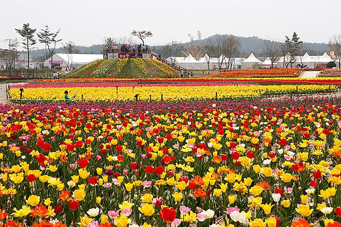 Đồng hoa tulip đầy màu sắc tại lễ hội. Ảnh: Visit Korea.