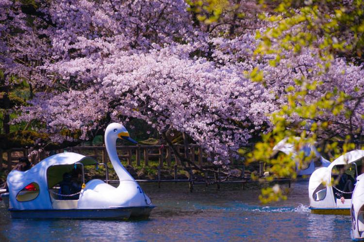 Công viên InokashiraCông viên nằm ở Kichijoji, ngoại ô Tokyo và nổi tiếng là nơi có phong cảnh đẹp vào mùa xuân. Nơi đây có khoảng 500 cây anh đào trồng xung quanh một chiếc hồ. Khi hoa bắt đầu rơi, cánh hoa trải rộng trên mặt ao như một tấm thảm màu hồng. Du khách có thể đi thuyền thiên nga trên hồ để ngắm cảnh. Tuy nhiên theo truyền thuyết địa phương, các đôi trai gái nếu đi thuyền trên hồ sẽ sớm chia tay. Bạn cũng có thể tới đây cắm trại, hoặc ngắm cảnh từ cây cầu gần đó. Ảnh: iStock.