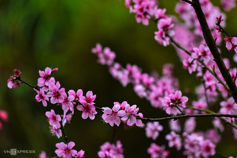 Mẫu Sơn mùa hoa đào rừng