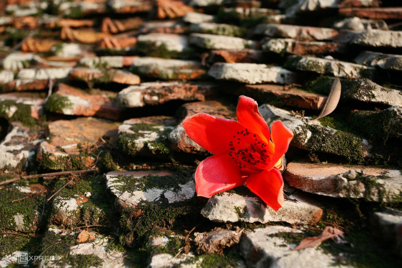 Rực đỏ hoa gạo trước sân chùa Thầy