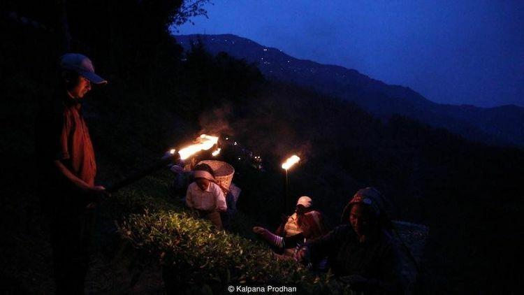 Sau 8 giờ tối, khi ánh trăng sáng nhất, khoảng 80 - 100 thợ hái chè lành nghề bắt đầu đi lên các triền núi háichiếc lá và búp trà rồi nhanh chóng bỏ chúng vào chiếc giỏ lớn sau lưng. Ảnh: BBC.