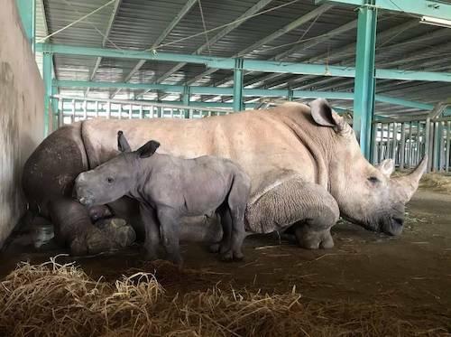 Đại diện Vinpearl Safari Phú Quốc cho biết, cá thể tê giác mới chào đời giống cái, nặng hơn 60kg, thuộc một trong năm loài tê giác hiếm còn tồn tại. Tên khoa học của loài tê giác này là Ceratotherium simum simum. Ca sinh nở lần này, tê giác mẹ sinh con chỉ sau 15 phút trở dạ. Chưa đầy 45 phút sau, tê giác con đã có thể tự bú mẹ. Tê giác con có sức khỏe sơ sinh và bản năng sinh tồn mạnh.