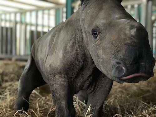 Tê giác mới chào đời đượcnhân viên Vinpearl Safari Phú Quốc đặt tên là Winnie, với ý nghĩa chiến thắng. Nhân viên chăm sóc mẹ con Winnie hi vọng, cô bé tê giác sẽ là món quà ý nghĩa, đại diện cho sự lạc quan, tin tưởng cho mọi người trong thời điểm dịch bệnh khó khăn. Winnie là thành thành viên thứ 27 của đàn và là tê giác thứ 4 được sinh ra ở Việt Nam trong hơn 10 năm qua.
