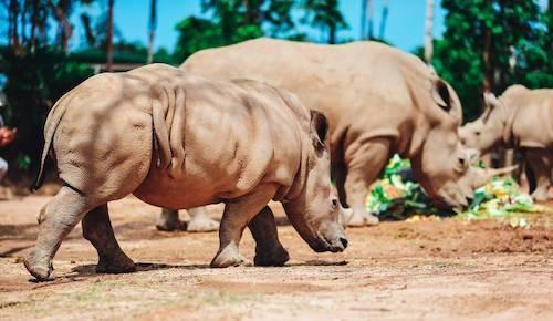 Theo bác sĩ và nhân viên chăm sóc động vật ở Vinpearl Safari, tỷ lệ sinh con của tê giác trắng Châu Phi ghi nhận tại các công viên bảo tồn vì trong thời gian mang thai có nhiều rủi ro, cần chăm sóc kỹ lưỡng. Việc ghép cặp, giao phối đòi hỏi kỹ thuật và hỗ trợ tâm lý đặc biệt từ đội ngũ chuyên gia.