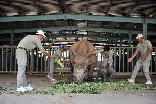 Cá thể tê giác Winnie ra đời khỏe mạnh cho thấy Vinpearl Safari có môi trường sống phù hợp để tê giác sinh trưởng, duy trì bản năng.