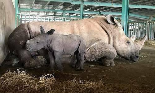 Photo of Vinpearl Safari đón tê giác thứ 3 chào đời