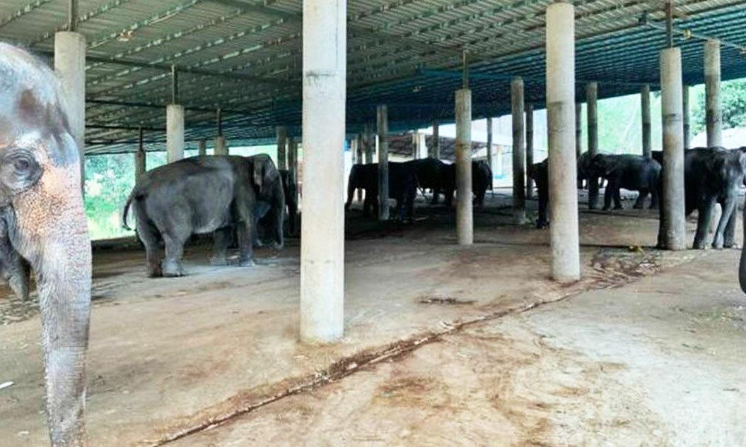 Những con voi không còn phải chở khách song cũng không có đủ thức ăn. Ảnh:Save The Elephants.
